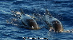 Short fin pilot whales off the coast of Almeria, Spain by Thierry Lannoy 